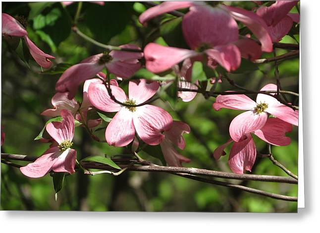Pink Dogwood Tree Greeting Card by Rebecca Overton