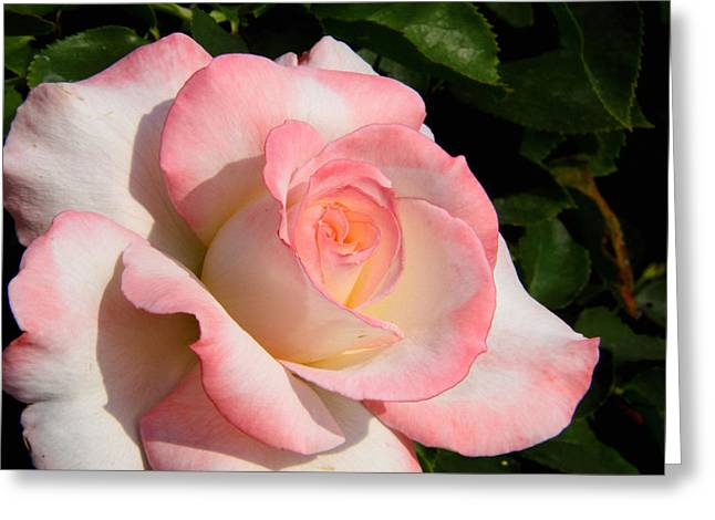 Pink Edge Rose Greeting Card
