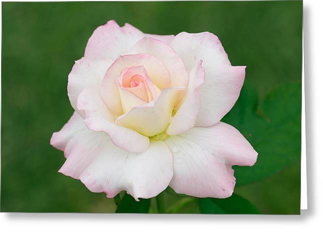 Pink Edge White Rose Greeting Card