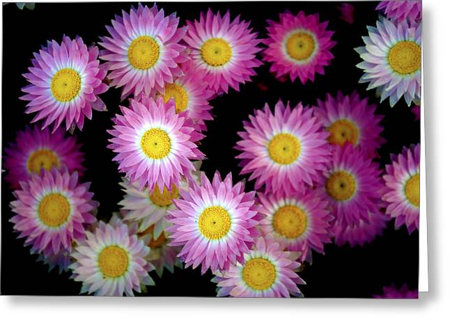 Pink Flowers At Dawn 3 Greeting Card by Sumit Mehndiratta