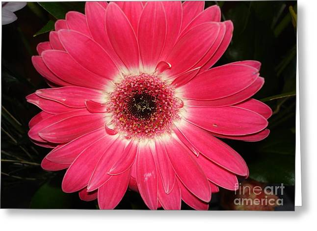 Greeting Card featuring the photograph Pink Gerbera Daisy by Kerri Mortenson