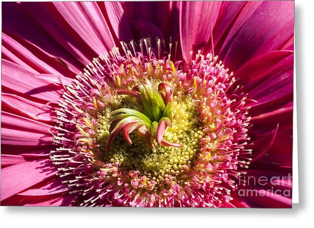 Pink Gerbera Daisy Greeting Card by Scotts Scapes