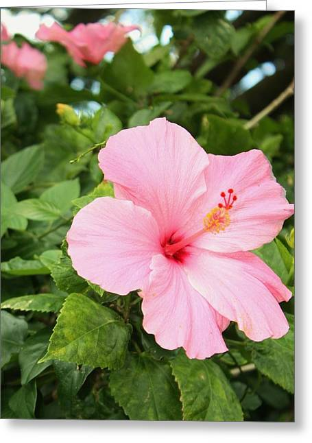 Greeting Card featuring the photograph Pink Hibiscus by Craig Wood