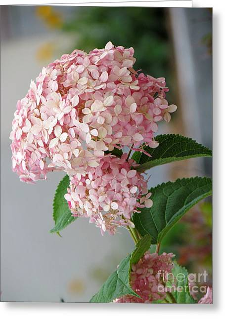 Greeting Card featuring the photograph Pink Hydrangea by France Laliberte