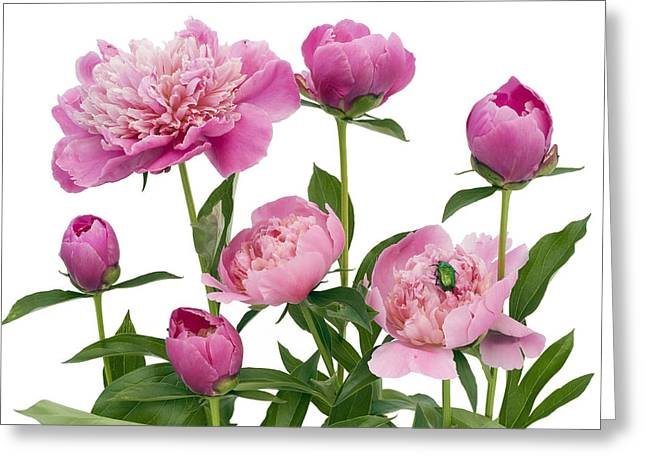 Greeting Card featuring the photograph Pink June Peonies And A Green Bug by Aleksandr Volkov