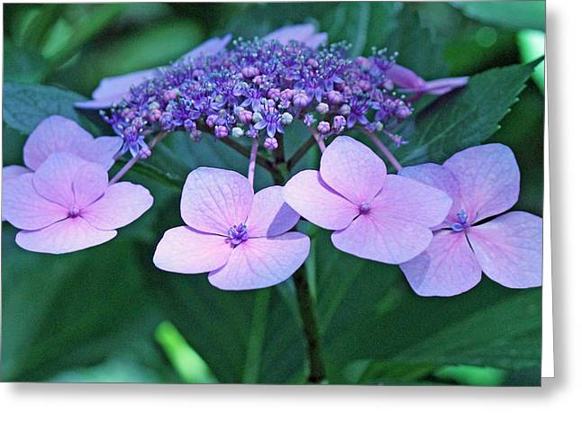 Pink Lacecap Hydrangea Greeting Card by Becky Lodes
