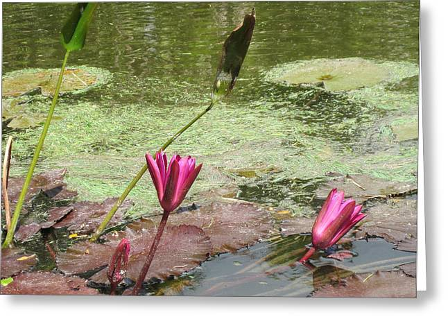 Pink Lilly Pond Greeting Card by Rosie Brown