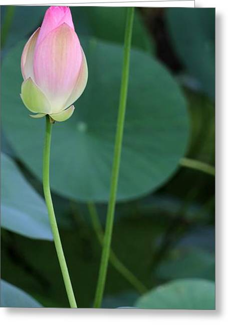 Pink Lotus Buds Greeting Card by Sabrina L Ryan