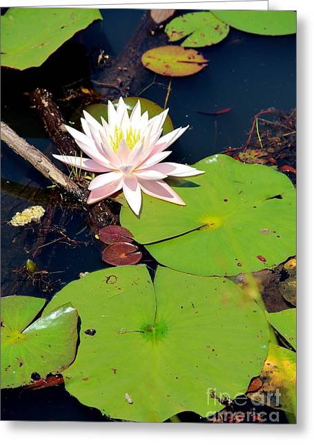 Pink Lotus Greeting Card by Pauline Ross