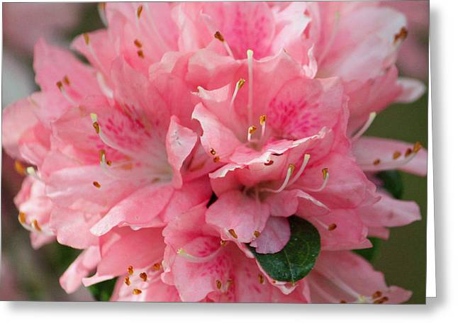 Pink On Pink Squared Greeting Card by Suzanne Gaff