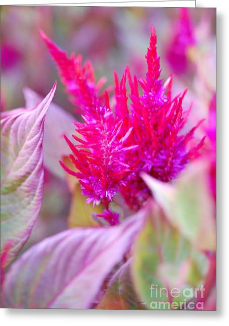 Pink Passion Greeting Card by First Star Art