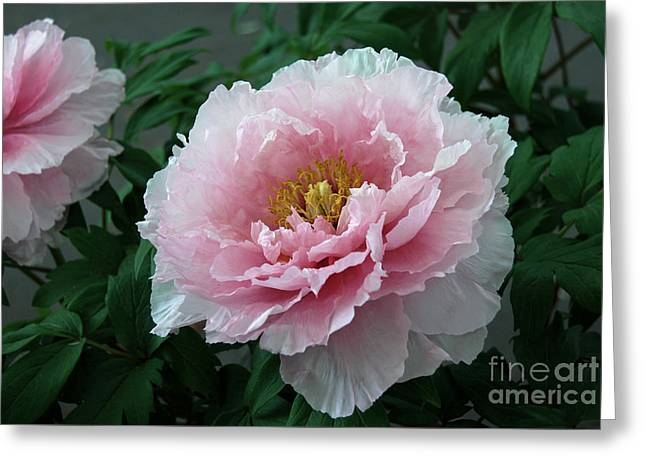 Pink Peony Flowers Series 2 Greeting Card
