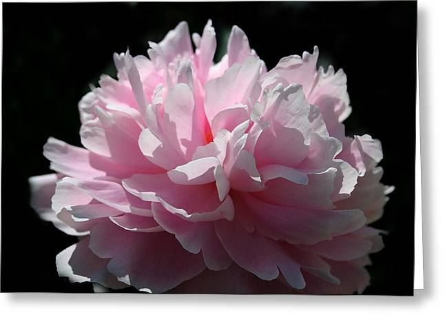 Pink Peony Greeting Card by Monika A Leon
