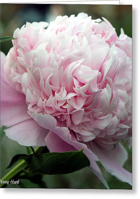 Greeting Card featuring the photograph Pink Peony Perfection by Penny Hunt