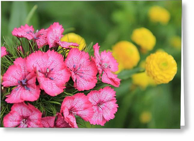 Pink Phlox And Yellow Buttons Greeting Card