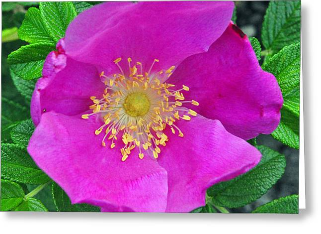 Greeting Card featuring the photograph Pink Portulaca by Tikvah's Hope