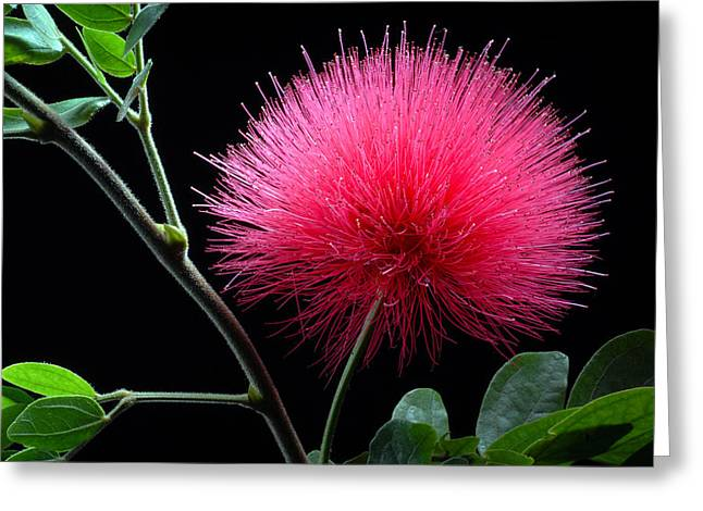 Pink Powder Puff Flower Greeting Card by Dung Ma