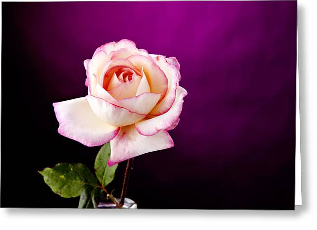 Pink Rose Against Purple Spotlight Greeting Card by M K  Miller