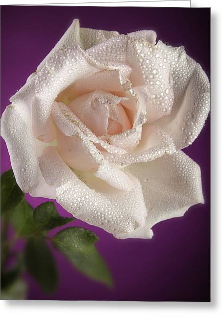 Pink Rose And Rain Drops Greeting Card by M K  Miller