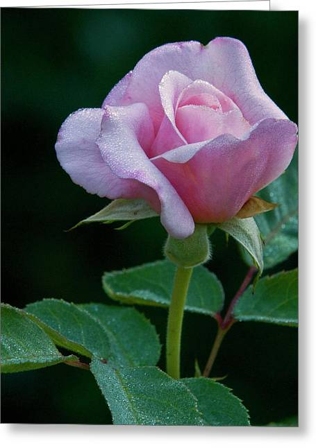 Pink Rose Greeting Card by Howard Knauer