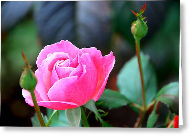 Greeting Card featuring the photograph Pink Rose by Janice Adomeit