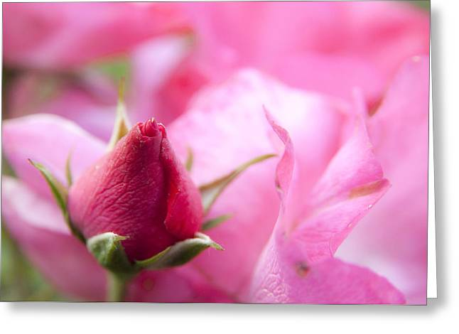 Pink Rose Greeting Card by Jeannette Hunt