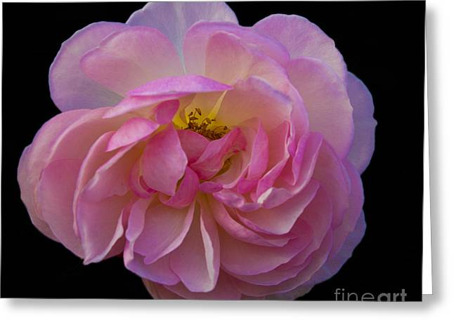Pink Rose On Black Greeting Card by Ursula Lawrence