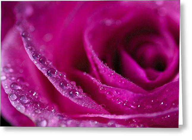 Pink Rose Greeting Card by Scott Holmes
