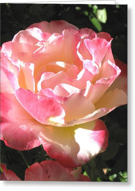 Greeting Card featuring the photograph Pink Rose by Sue Halstenberg