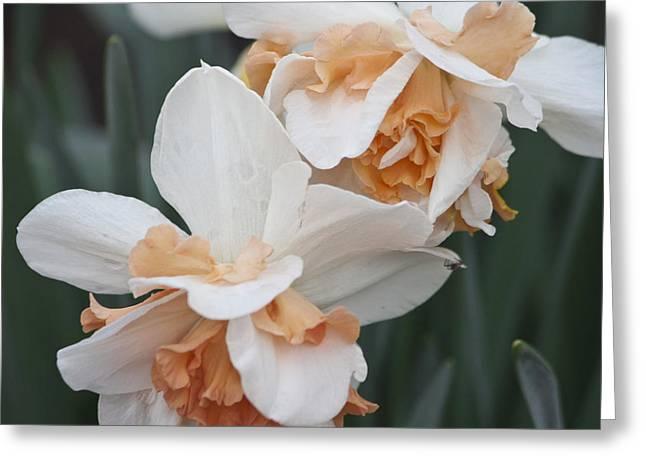 Pink Ruffle Daffodils Squared Greeting Card by Teresa Mucha
