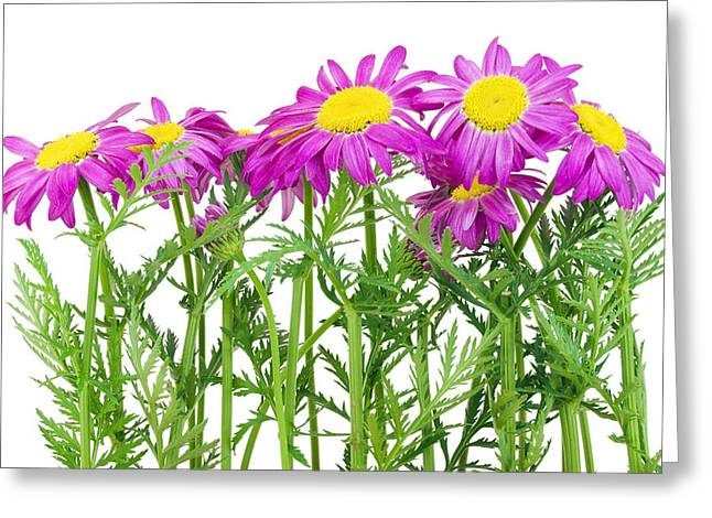 Pink Spring Daisies Border Greeting Card