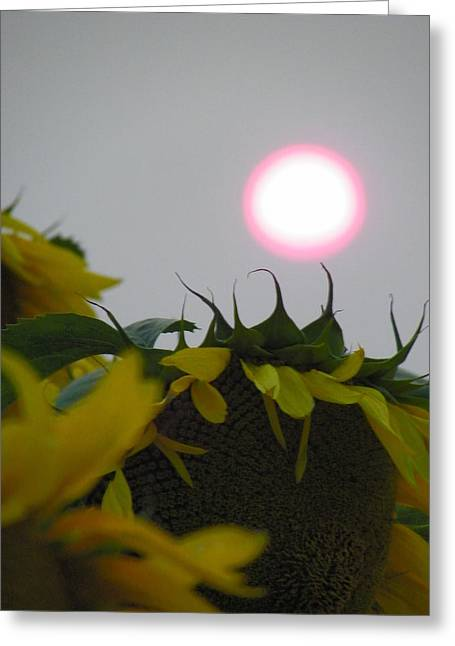 Pink Sun Setting Over Sunflower Field Greeting Card