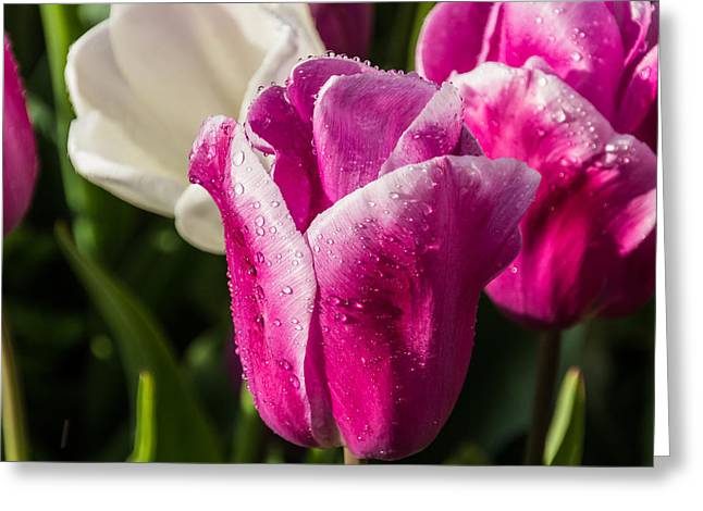 Greeting Card featuring the photograph Pink Tulip by David Gleeson