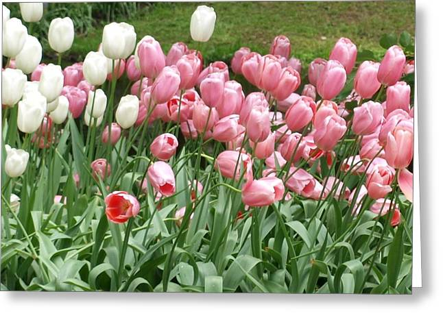 Pink Tulips Greeting Card by Larry Krussel