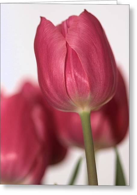 Pink Tullips Greeting Card