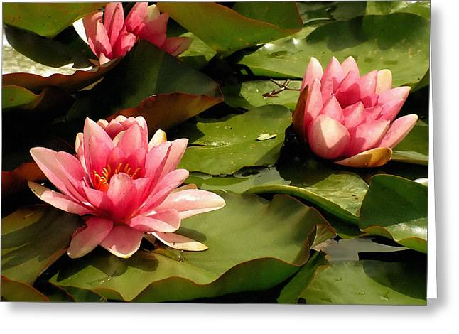 Pink Water Lilies Greeting Card by Design Windmill