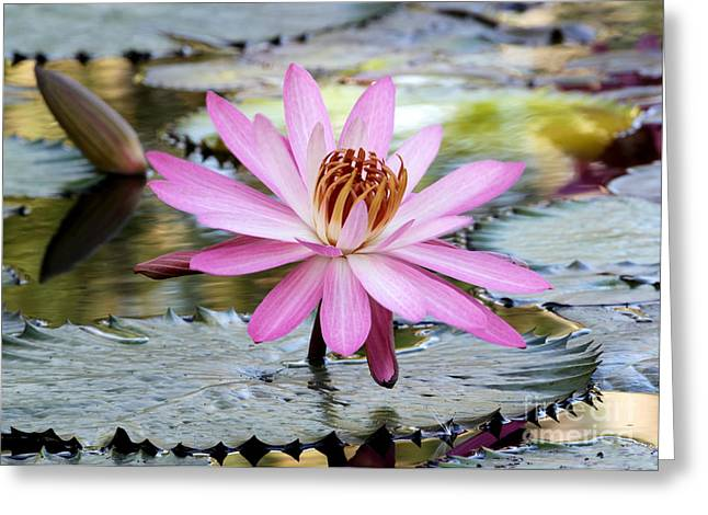 Pink Water Lily In The Morning Greeting Card by Sabrina L Ryan