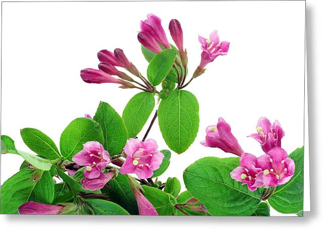Greeting Card featuring the photograph Pink Weigela Background by Aleksandr Volkov