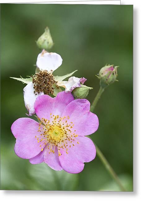 Pink Wildflower Multiflora Rose - Rosa  Greeting Card by Kathy Clark