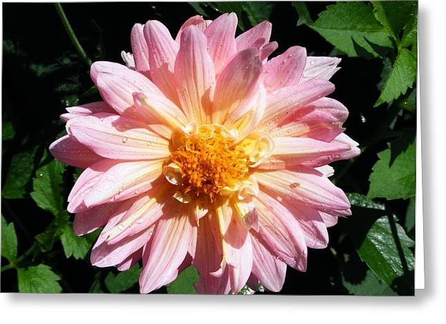Pink Zinnia From Boldt Castle Greeting Card