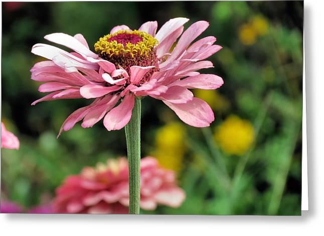 Pink Zinnia Greeting Card by Janice Drew