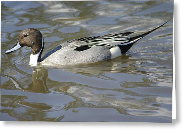 Pintail Duck Greeting Card by Marilyn Wilson