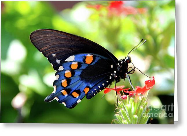 Pipevine Pose Greeting Card