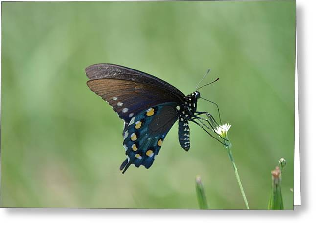 Pipevine Swallowtail Nectaring Greeting Card by Kathy Gibbons