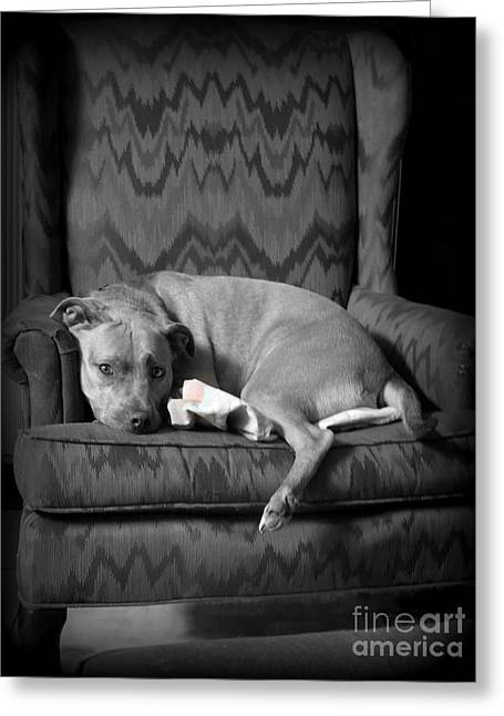 Pit Bull Patiently Waiting Greeting Card by Renee Trenholm