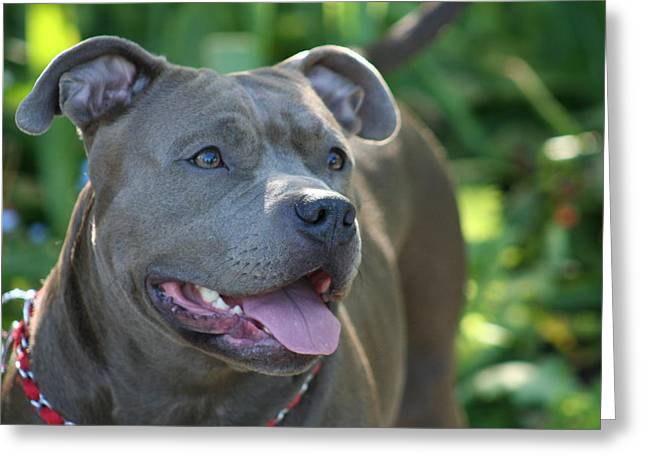 Pitbull In The Garden Greeting Card by Ritmo Boxers