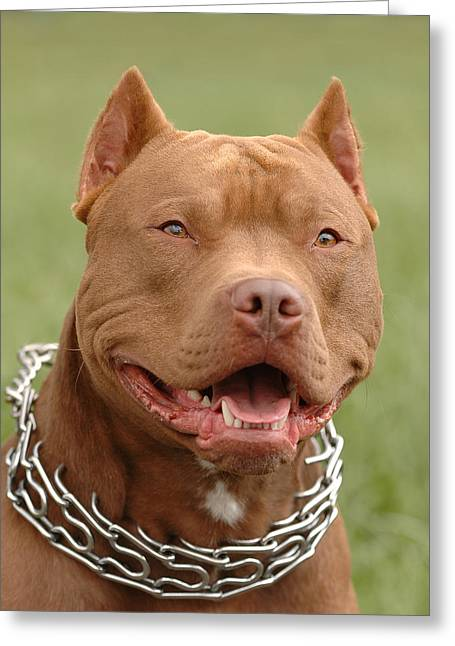 Pitbull Red Nose Dog Portrait Greeting Card by Waldek Dabrowski