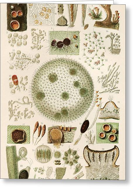 Plant And Fungi Microscopy, 19th Century Greeting Card by