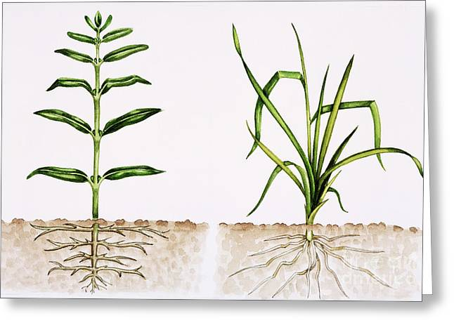 Plant Comparison Greeting Card by Lizzie Harper