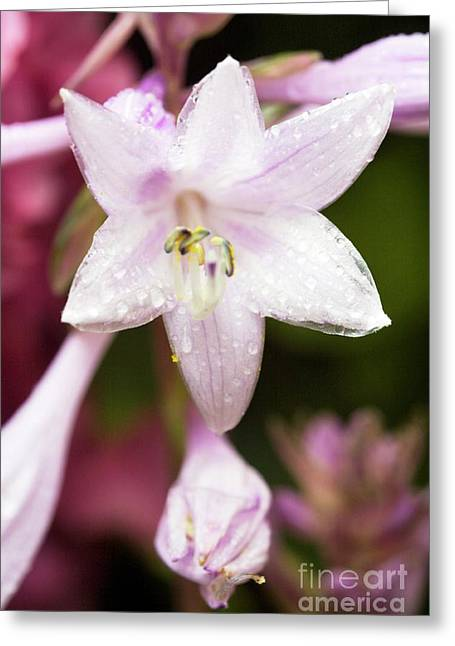 Plantain Lily Flowers (hosta Sp.) Greeting Card by Dr Keith Wheeler